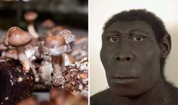 Evolution From Chimpanzee to Human Did Psychedelic Mushrooms Played A Major Role in doubling Human Brain Power?